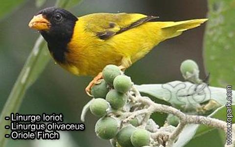 Linurge loriot – Linurgus olivaceus – Oriole Finch – xopark3