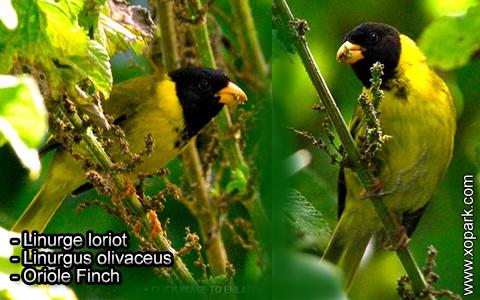Linurge loriot – Linurgus olivaceus – Oriole Finch – xopark4