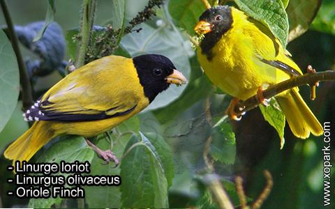 Linurge loriot – Linurgus olivaceus – Oriole Finch – xopark5