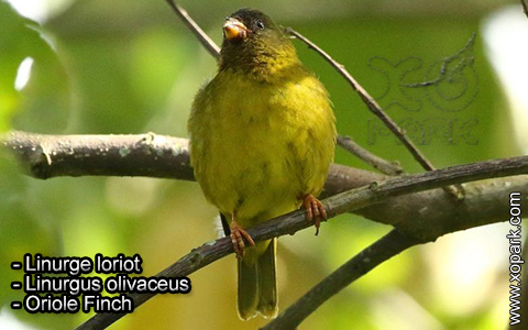 Linurge loriot – Linurgus olivaceus – Oriole Finch – xopark6