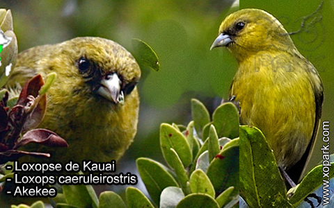 Loxopse de Kauai – Loxops caeruleirostris – Akekee – xopark1