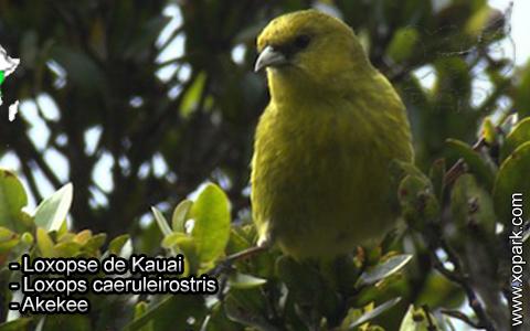 Loxopse de Kauai – Loxops caeruleirostris – Akekee – xopark2