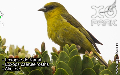 Loxopse de Kauai – Loxops caeruleirostris – Akekee – xopark3