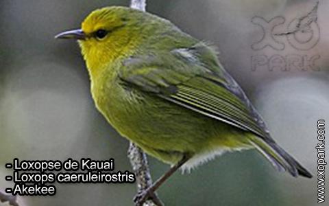 Loxopse de Kauai – Loxops caeruleirostris – Akekee – xopark4