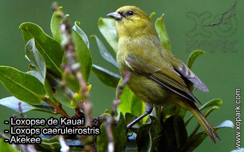 Loxopse de Kauai – Loxops caeruleirostris – Akekee – xopark5