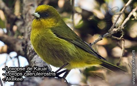 Loxopse de Kauai – Loxops caeruleirostris – Akekee – xopark6