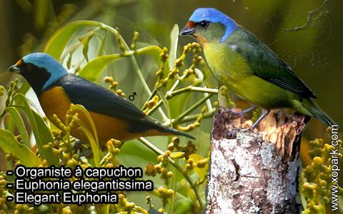 Organiste à capuchon – Euphonia elegantissima – Elegant Euphonia – xopark10