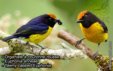 Organiste à couronne rousse – Euphonia anneae – Tawny-capped Euphonia – xopark1