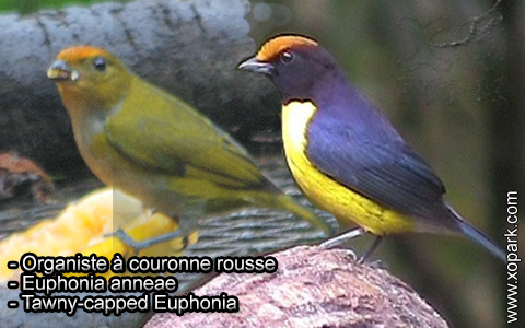 Organiste à couronne rousse – Euphonia anneae – Tawny-capped Euphonia – xopark10