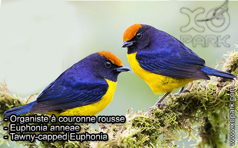 Organiste à couronne rousse – Euphonia anneae – Tawny-capped Euphonia – xopark2