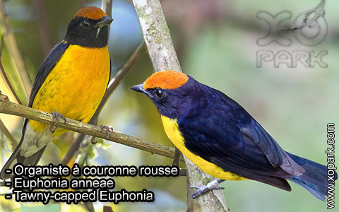 Organiste à couronne rousse – Euphonia anneae – Tawny-capped Euphonia – xopark3