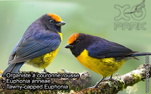 Organiste à couronne rousse – Euphonia anneae – Tawny-capped Euphonia – xopark4