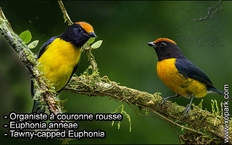 Organiste à couronne rousse – Euphonia anneae – Tawny-capped Euphonia – xopark5