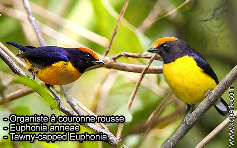 Organiste à couronne rousse – Euphonia anneae – Tawny-capped Euphonia – xopark6