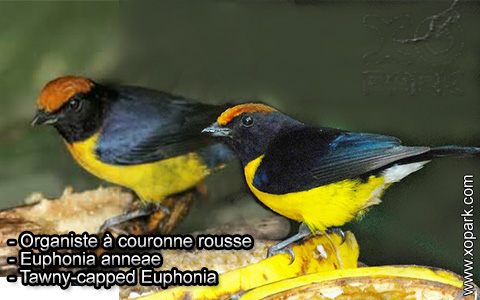 Organiste à couronne rousse – Euphonia anneae – Tawny-capped Euphonia – xopark7