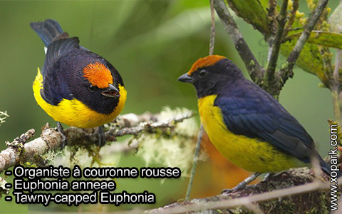 Organiste à couronne rousse – Euphonia anneae – Tawny-capped Euphonia – xopark8