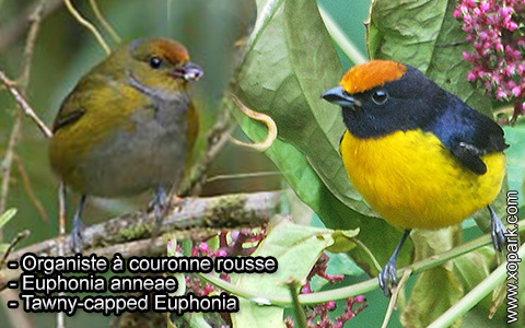 Organiste à couronne rousse – Euphonia anneae – Tawny-capped Euphonia – xopark9