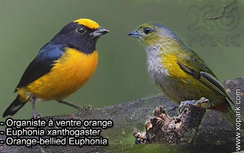 Organiste à ventre orange – Euphonia xanthogaster – Orange-bellied Euphonia – xopark1