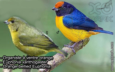 Organiste à ventre orange – Euphonia xanthogaster – Orange-bellied Euphonia – xopark2