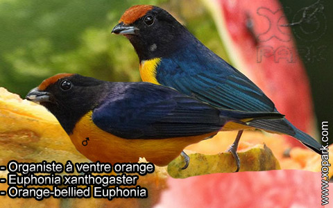 Organiste à ventre orange – Euphonia xanthogaster – Orange-bellied Euphonia – xopark3