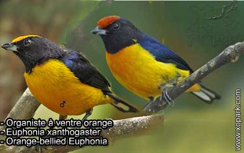 Organiste à ventre orange – Euphonia xanthogaster – Orange-bellied Euphonia – xopark4