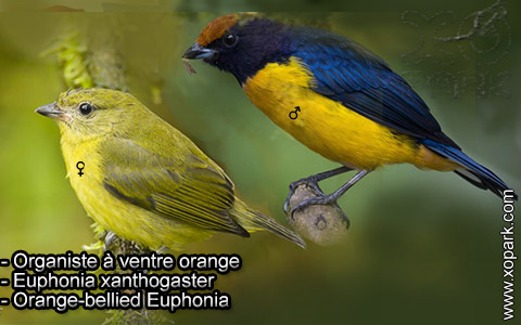 Organiste à ventre orange – Euphonia xanthogaster – Orange-bellied Euphonia – xopark5