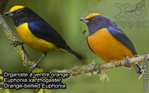 Organiste à ventre orange – Euphonia xanthogaster – Orange-bellied Euphonia – xopark6