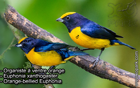 Organiste à ventre orange – Euphonia xanthogaster – Orange-bellied Euphonia – xopark7
