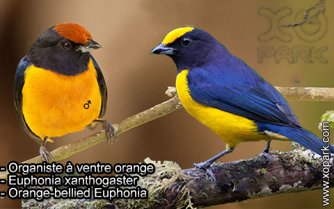 Organiste à ventre orange – Euphonia xanthogaster – Orange-bellied Euphonia – xopark9