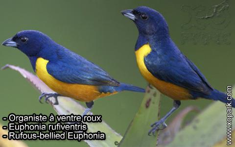 Organiste à ventre roux – Euphonia rufiventris – Rufous-bellied Euphonia – xopark1