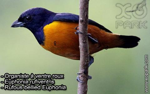 Organiste à ventre roux – Euphonia rufiventris – Rufous-bellied Euphonia – xopark10