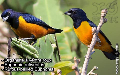 Organiste à ventre roux – Euphonia rufiventris – Rufous-bellied Euphonia – xopark2