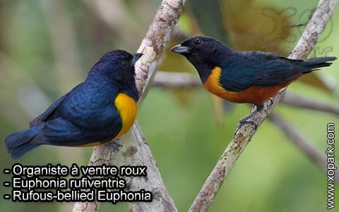 Organiste à ventre roux – Euphonia rufiventris – Rufous-bellied Euphonia – xopark3
