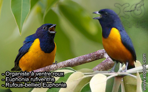 Organiste à ventre roux – Euphonia rufiventris – Rufous-bellied Euphonia – xopark4
