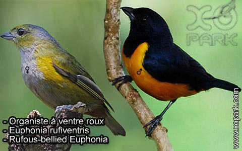 Organiste à ventre roux – Euphonia rufiventris – Rufous-bellied Euphonia – xopark5