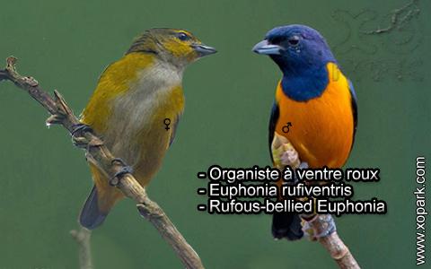 Organiste à ventre roux – Euphonia rufiventris – Rufous-bellied Euphonia – xopark7
