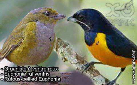 Organiste à ventre roux – Euphonia rufiventris – Rufous-bellied Euphonia – xopark8