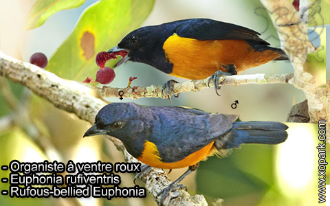 Organiste à ventre roux – Euphonia rufiventris – Rufous-bellied Euphonia – xopark9