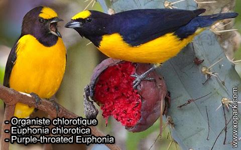 Organiste chlorotique – Euphonia chlorotica – Purple-throated Euphonia – xopark1