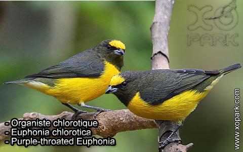 Organiste chlorotique – Euphonia chlorotica – Purple-throated Euphonia – xopark10