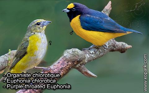 Organiste chlorotique – Euphonia chlorotica – Purple-throated Euphonia – xopark2