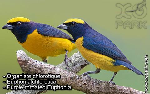 Organiste chlorotique – Euphonia chlorotica – Purple-throated Euphonia – xopark3