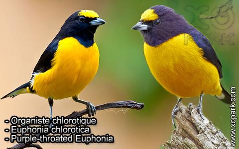 Organiste chlorotique – Euphonia chlorotica – Purple-throated Euphonia – xopark4