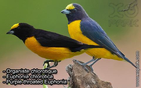 Organiste chlorotique – Euphonia chlorotica – Purple-throated Euphonia – xopark6