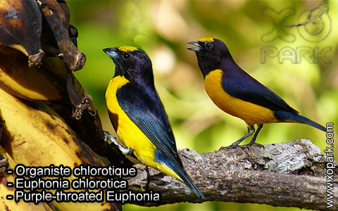 Organiste chlorotique – Euphonia chlorotica – Purple-throated Euphonia – xopark8