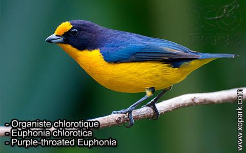Organiste chlorotique – Euphonia chlorotica – Purple-throated Euphonia – xopark9
