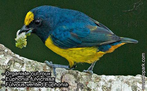 Organiste cul-roux – Euphonia fulvicrissa – Fulvous-vented Euphonia – xopark1