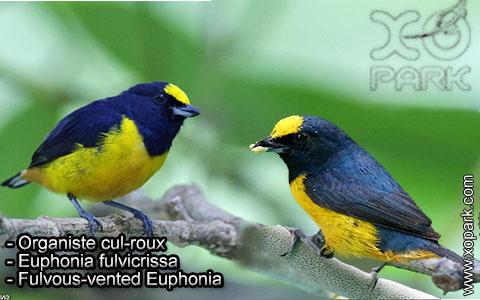 Organiste cul-roux – Euphonia fulvicrissa – Fulvous-vented Euphonia – xopark2
