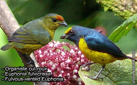 Organiste cul-roux – Euphonia fulvicrissa – Fulvous-vented Euphonia – xopark3
