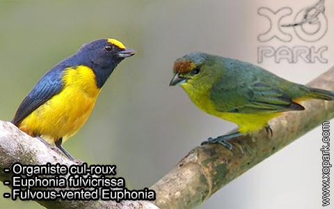 Organiste cul-roux – Euphonia fulvicrissa – Fulvous-vented Euphonia – xopark4